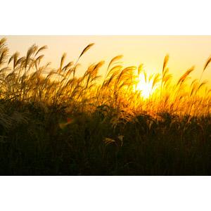 フリー写真, 風景, 自然, 夕日, 夕暮れ(夕方), 夕焼け, 植物, 草, 薄(ススキ), 秋