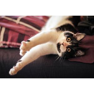 フリー写真, 動物, 哺乳類, 猫(ネコ), 黒白猫, ストレッチ(動物)