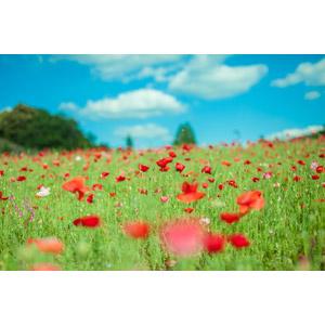 フリー写真, 風景, 自然, 草むら, 花畑, ヒナゲシ(ポピー), 赤色の花, 青空