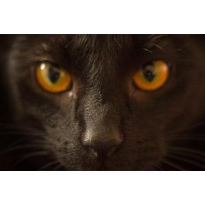 フリー写真, 動物, 哺乳類, 猫(ネコ), 黒猫, ハロウィン, 動物の顔