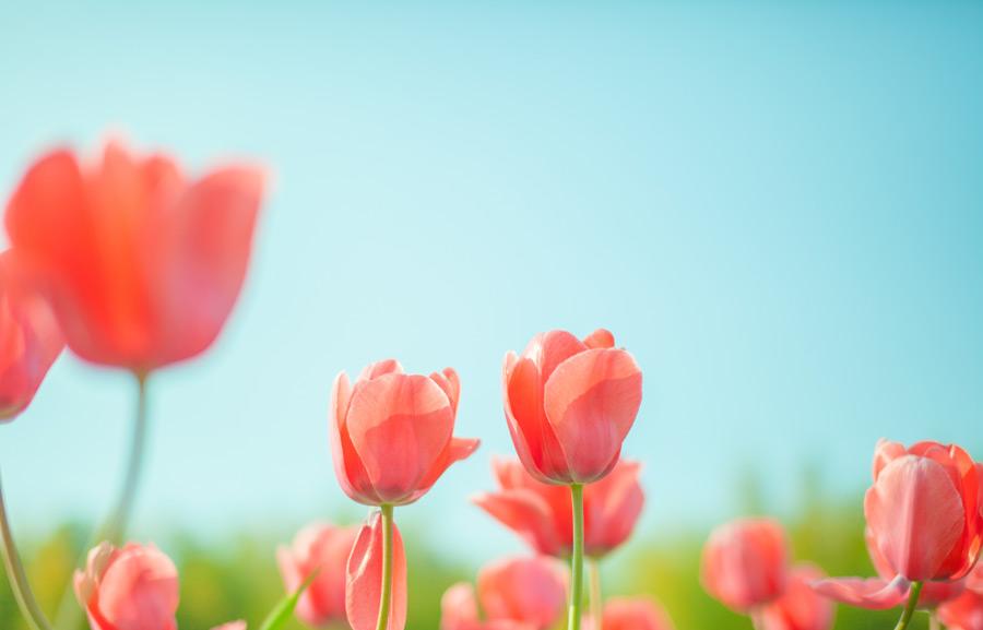 フリー写真 チューリップの花々と青空の風景