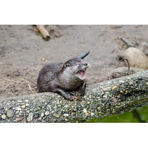 フリー写真, 動物, 哺乳類, カワウソ, 口を開ける(動物), 叫ぶ, 悲鳴