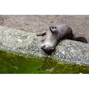 フリー写真, 動物, 哺乳類, カワウソ, 寝る(動物)