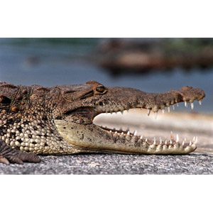 フリー写真, 動物, 爬虫類, 鰐(ワニ), 口を開ける(動物)