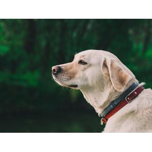 フリー写真, 動物, 哺乳類, 犬(イヌ), ラブラドール・レトリバー