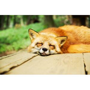 フリー写真, 動物, 哺乳類, 狐(キツネ), 寝る(寝顔)