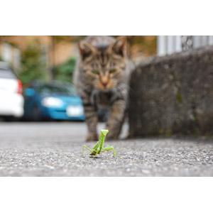 フリー写真, 動物, 昆虫, カマキリ, 哺乳類, 猫(ネコ), キジトラ猫