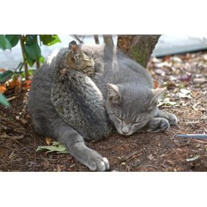 フリー写真, 動物, 哺乳類, 猫(ネコ), 子猫, 親子(動物), 寝る(動物), キジトラ猫