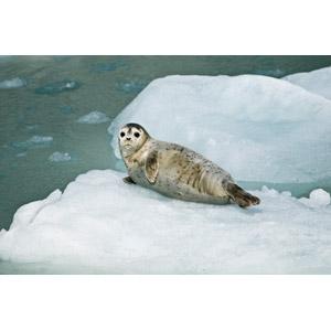 フリー写真, 動物, 哺乳類, アザラシ, 子供(動物), 氷