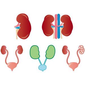 フリーイラスト, ベクター画像, AI, 人体, 器官(臓器), 内臓, 腎臓, 膀胱