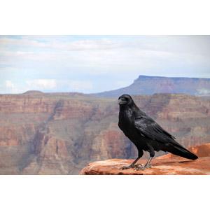フリー写真, 動物, 鳥類, 鳥(トリ), 烏(カラス), 渓谷, グランド・キャニオン, 崖, アメリカの風景, アリゾナ州