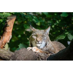 フリー写真, 動物, 哺乳類, 猫(ネコ), オオヤマネコ