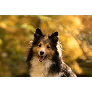 フリー写真, 動物, 哺乳類, 犬(イヌ), シェットランド・シープドッグ