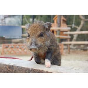 フリー写真, 動物, 哺乳類, 猪(イノシシ), ウリ坊, 子供(動物)