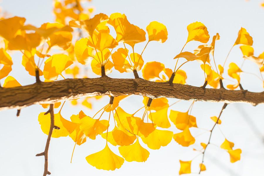 フリー写真 黄葉したイチョウの枝葉