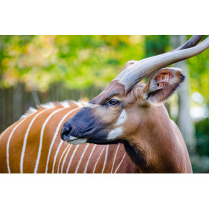 フリー写真, 動物, 哺乳類, ボンゴ(動物)