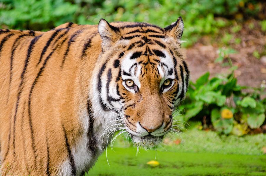 フリー写真 カメラ目線のトラ