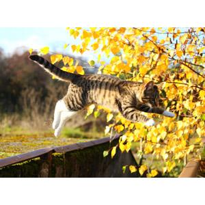 フリー写真, 動物, 哺乳類, 猫(ネコ), 子猫, 子供(動物), キジ白猫, ジャンプ(動物)
