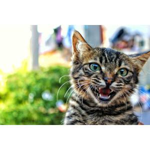 フリー写真, 動物, 哺乳類, 猫(ネコ), 子猫, キジトラ猫, 子供(動物)