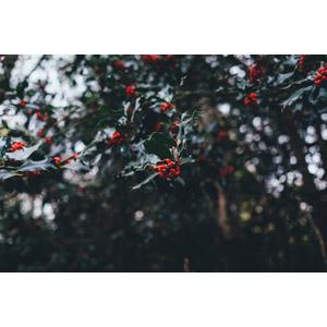 フリー写真, 風景, 自然, 植物, セイヨウヒイラギ, クリスマス, 冬