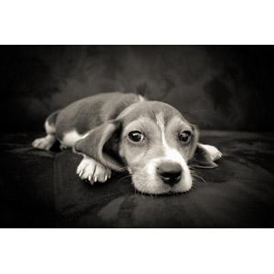 フリー写真, 動物, 哺乳類, 犬(イヌ), 子犬, 子供(動物), ビーグル犬, モノクロ