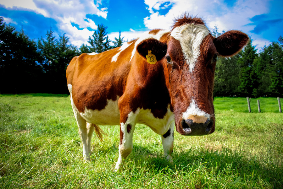 フリー写真 牧場の乳牛