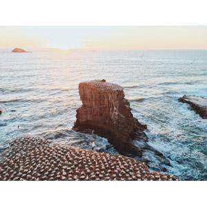 フリー写真, 風景, 海, 崖, 岩, 動物, 鳥類, 鳥(トリ), カツオドリ, 群れ, 鳥の巣, ニュージーランドの風景