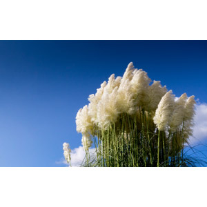 フリー写真, 風景, 自然, 青空, 植物, 雑草, シロガネヨシ