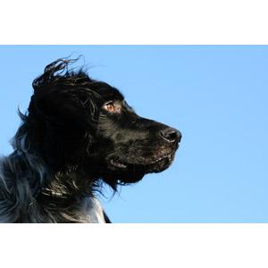 フリー写真, 動物, 哺乳類, 犬(イヌ), ラージ・ミュンスターレンダー