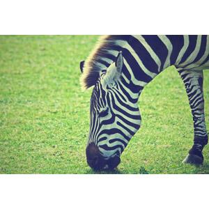 フリー写真, 動物, 哺乳類, 馬(ウマ), シマウマ, 食べる(動物)