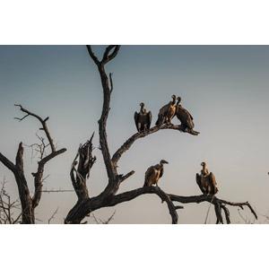 フリー写真, 動物, 鳥類, 猛禽類, 鷲(ワシ), ハゲワシ