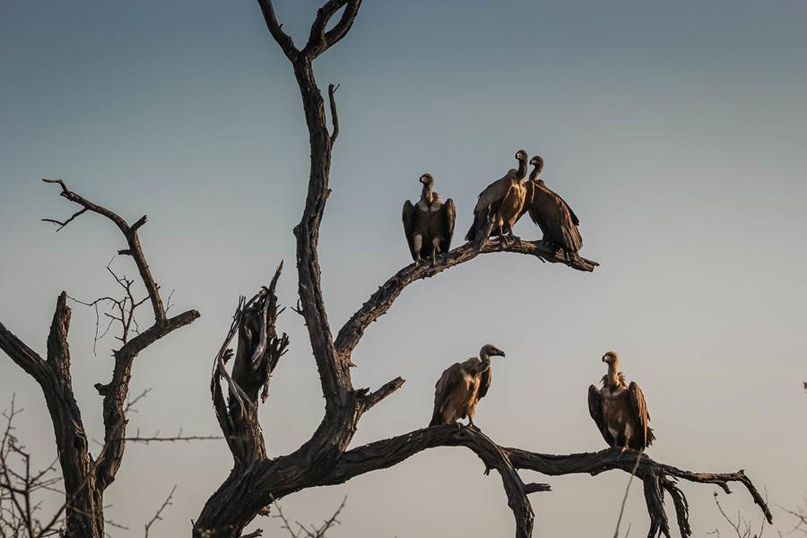 フリー写真 木の枝に止まるハゲワシ