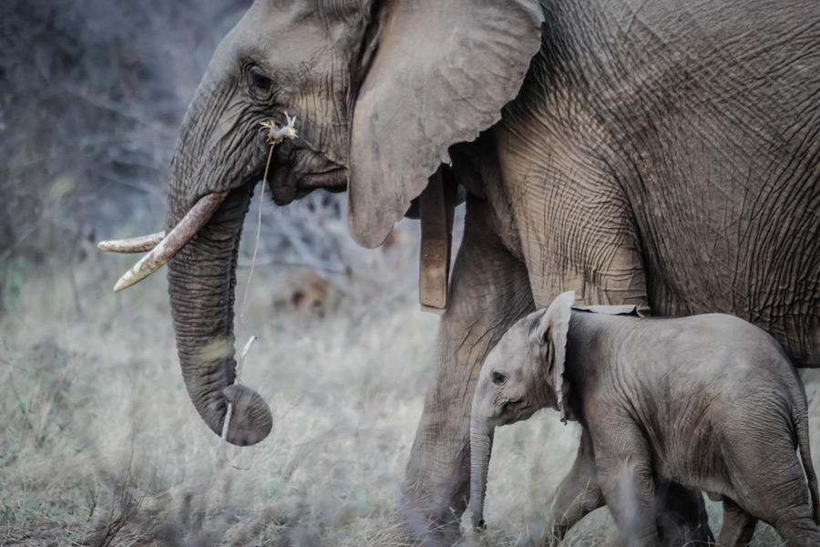 フリー写真 ゾウの親子