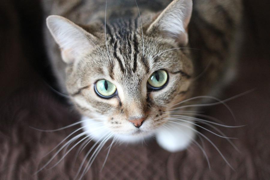 フリー写真 下から見上げるキジ白猫