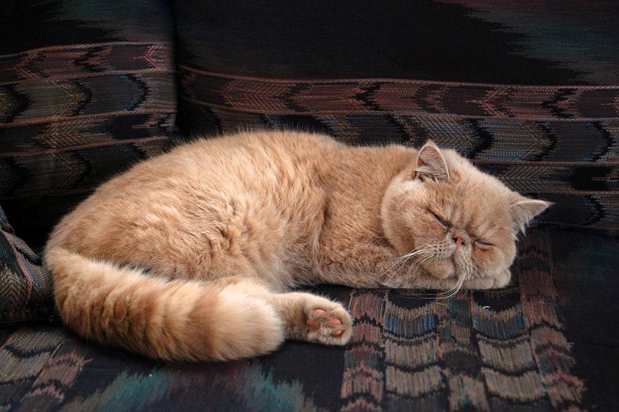 フリー写真 寝ているペルシャ猫