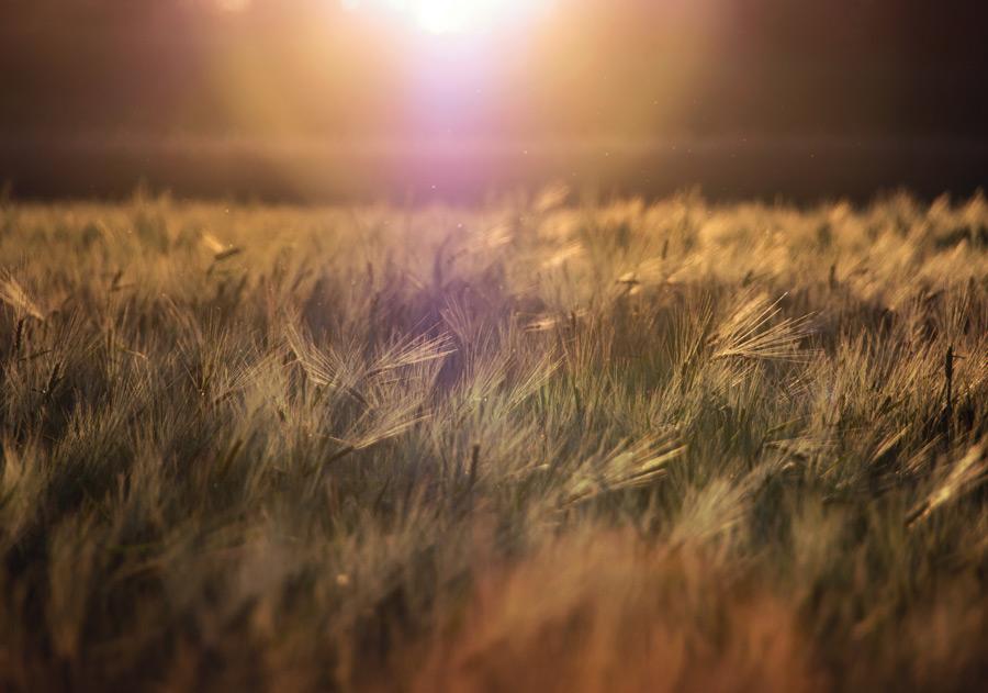 フリー写真 太陽光と麦畑の風景