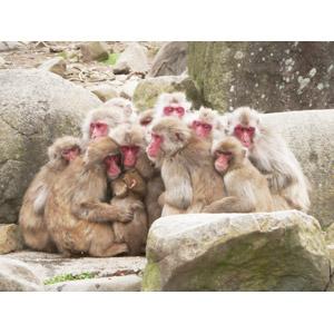 フリー写真, 動物, 哺乳類, 猿(サル), ニホンザル, 群れ