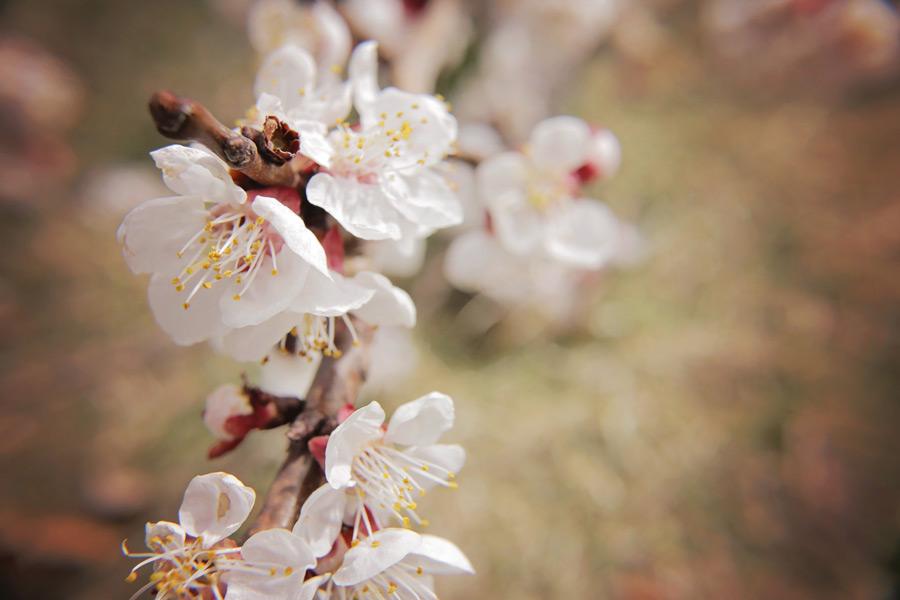 フリー写真 白梅の花
