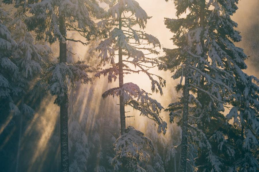 フリー写真 雪を被る木々と太陽の光
