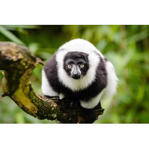 フリー写真, 動物, 哺乳類, 猿(サル), エリマキキツネザル
