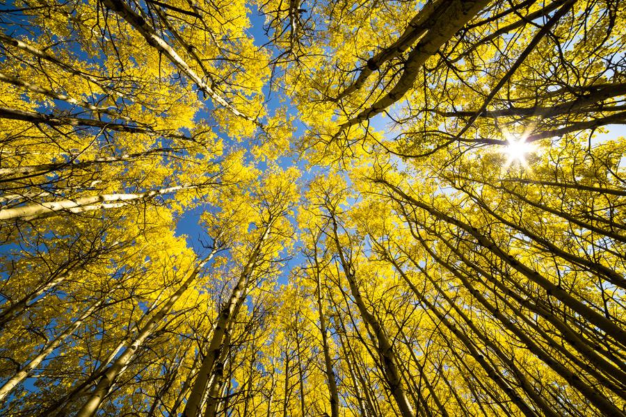 フリー写真 下から見上げる黄葉した森の木々