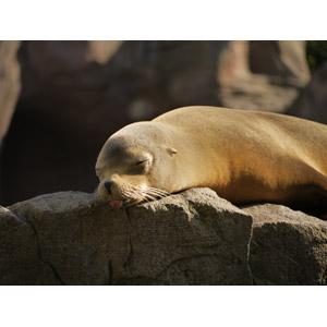 フリー写真, 動物, 哺乳類, アシカ, 寝る(動物), 舌を出す(動物)
