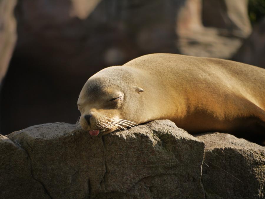 フリー写真 舌を出して眠るアシカ
