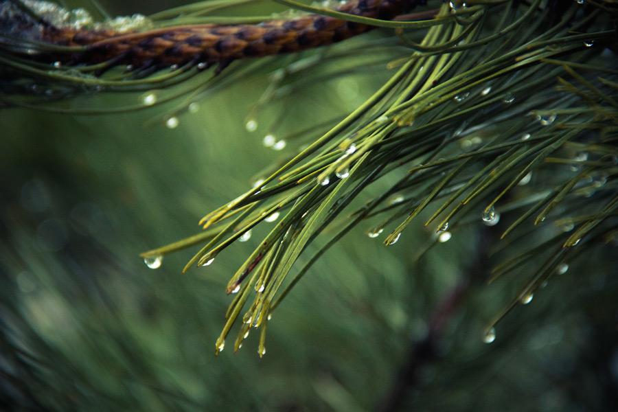 フリー写真 水滴のついた松葉