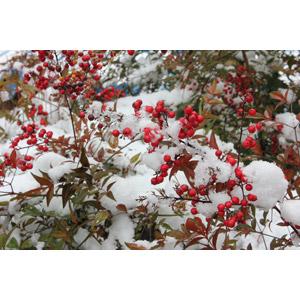 フリー写真, 植物, 南天, 冬, 雪