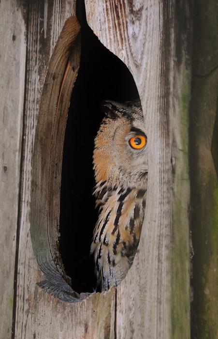 フリー写真 木の巣から覗いているベンガルワシミミズク