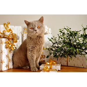 フリー写真, 動物, 哺乳類, 猫(ネコ), ブリティッシュショートヘア, プレゼント