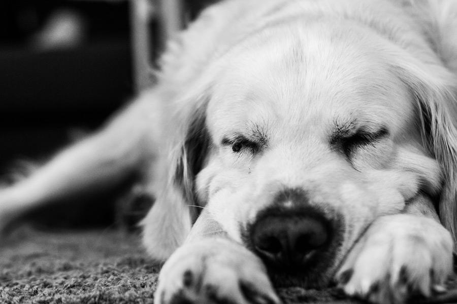 フリー写真 突っ伏して寝ているゴールデンレトリバー