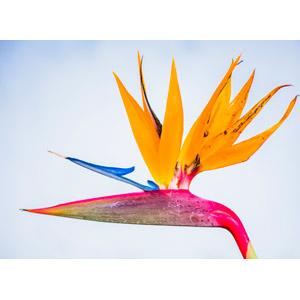 フリー写真, 植物, 花, 極楽鳥花(ゴクラクチョウカ)