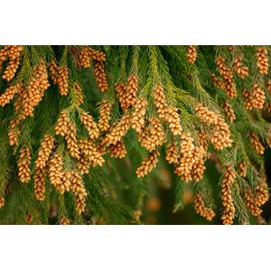 フリー写真, 植物, 杉(スギ), 花粉, 花粉症